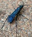 Chalybion californicum - male