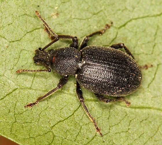 Lilac Root Weevil? - Otiorhynchus meridionalis