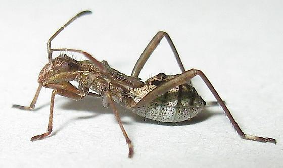 Broad-headed Bug Nymph - Tollius