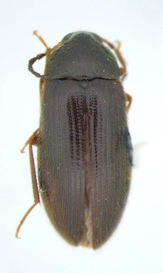 Hymenorus illusus - female