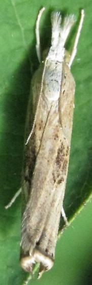 crambid - Parapediasia teterrellus