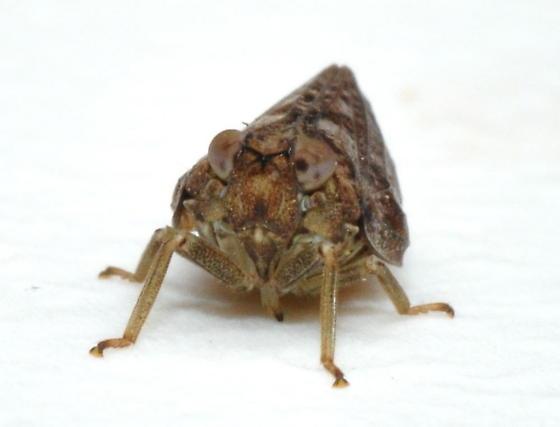Thionia - Thionia bullata