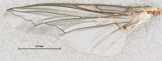 wing - Arachnidomyia