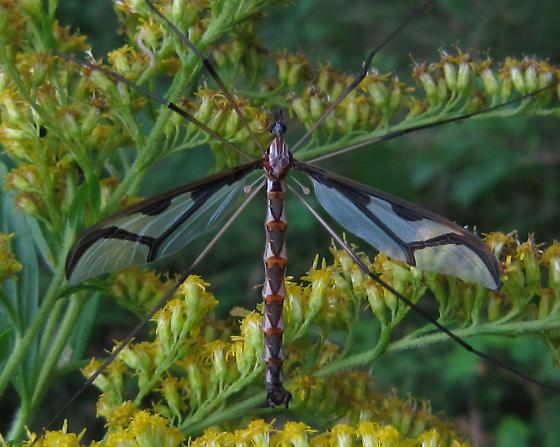 Crane Fly - Pedicia albivitta - male
