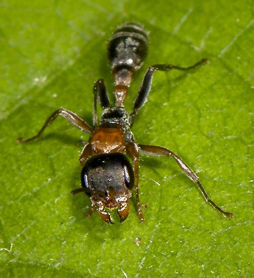 Graceful Twig Ant - Pseudomyrmex gracilis