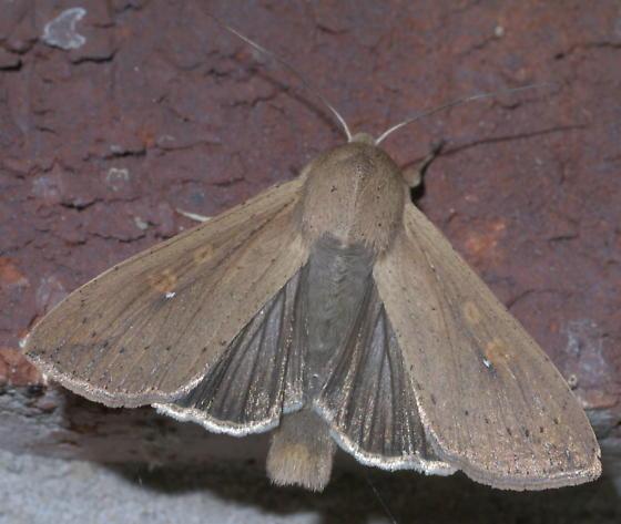 Brown moth with a few spots - Mythimna unipuncta