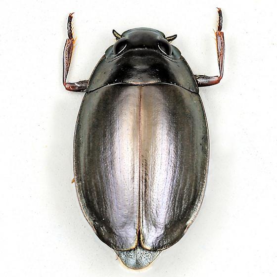 BG3101 E9407h - Dineutus carolinus - female