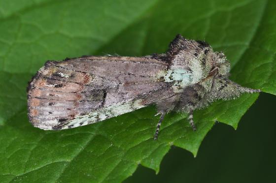 Unicorn Caterpillar - Schizura unicornis
