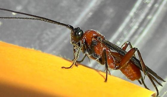 A Braconid Wasp (lateral) - Zelomorpha arizonensis - female