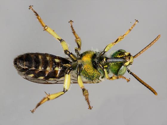 Male Agapostemon virescens - Agapostemon virescens - male