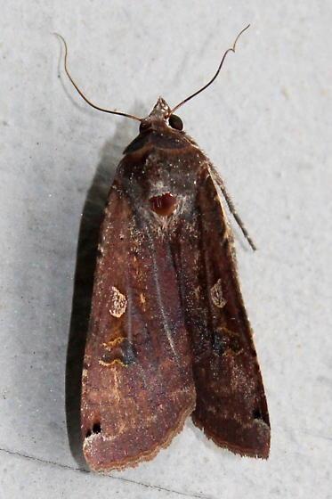 Unknown Moth - Noctua pronuba