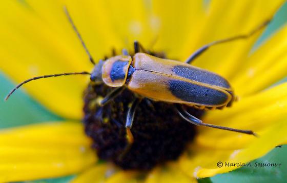 Goldenrod Soldier Beetle  Chauliognathus pennsylvanicus    Goldenrod Soldier Beetle