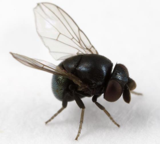 small fly - Cryptochetum iceryae