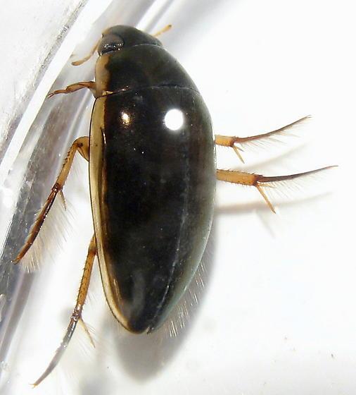 Tropisternus lateralis