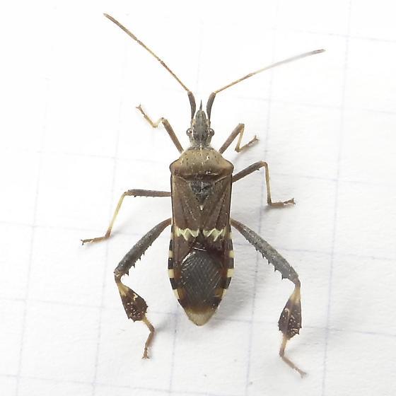 Western Leaf-footed Bug ? - Leptoglossus clypealis