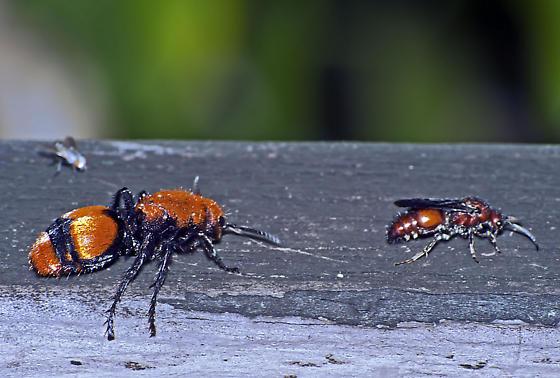 Velvet Ant - male - female