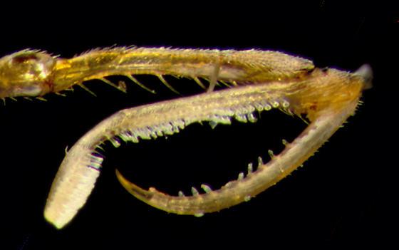 Dryinidae, pincher - Gonatopus - female