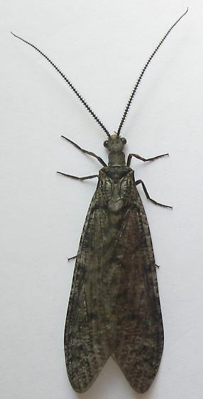 Gray Fishfly - Neohermes californicus - male