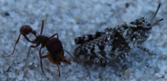 Hopper #9  - Pogonomyrmex badius