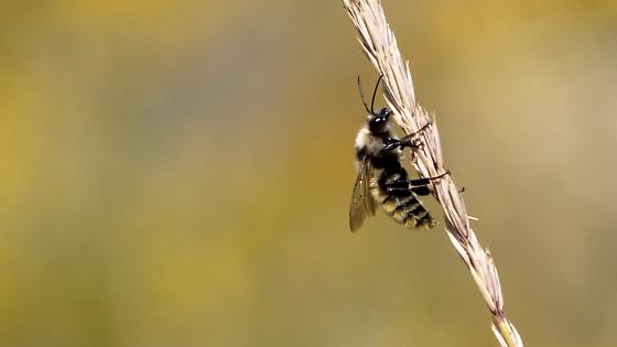 Fuzzy Striped Fly - Bombus appositus