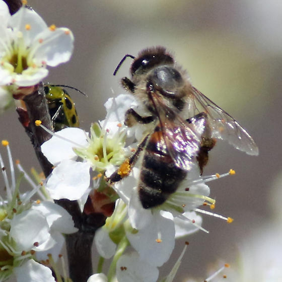Bee on Prunus - Apis mellifera