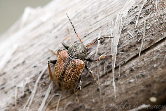 small beetle - Bromius obscurus