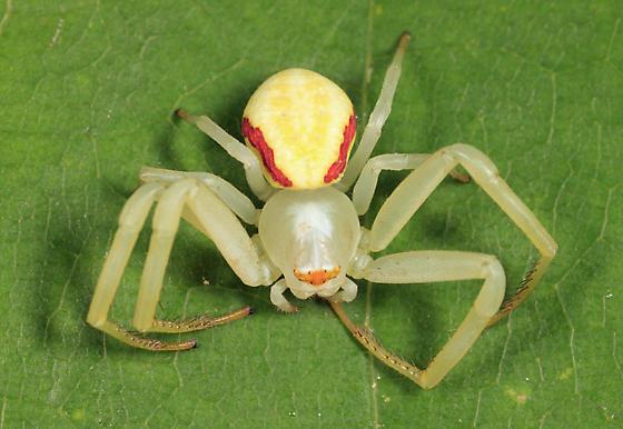 Goldenrod Crab Spider - Misumena vatia - female