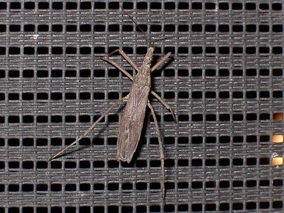 Weird-looking bug... - Pygolampis pectoralis