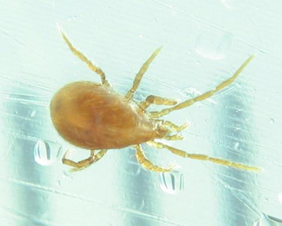 brown mite