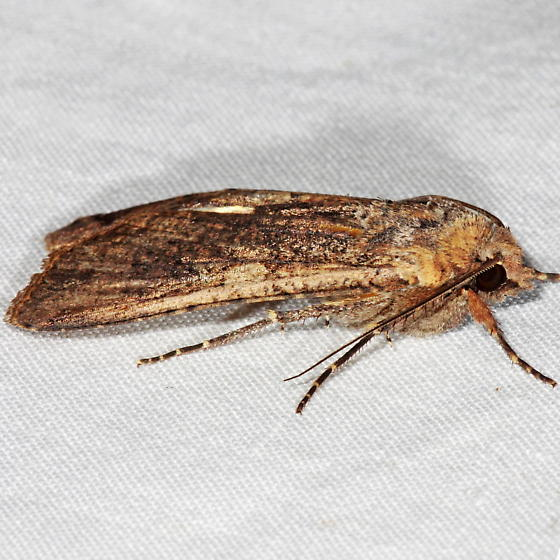 Unknown Moth - Peridroma saucia
