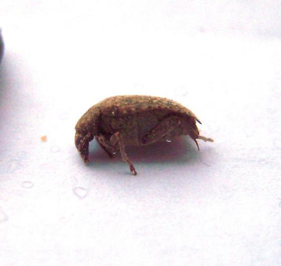 Locust seed beetle - Amblycerus robiniae