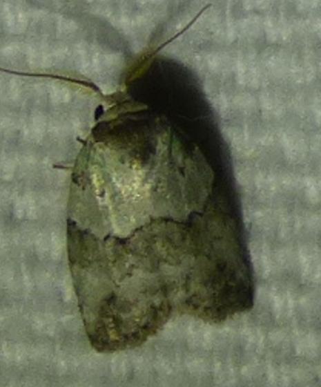 Afrida ydatodes - Dyar's Lichen Moth - Afrida ydatodes