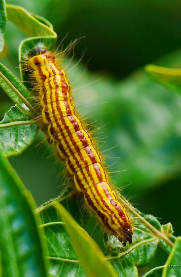 red-and-yellow-striped caterpillar with black head - Datana