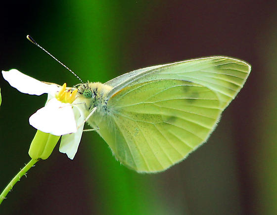 Maybe Cabbage White Butterfly? In our neighborhood they're called cabbage moths. - Pieris rapae