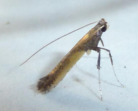Azalea Leafminer - Caloptilia azaleella