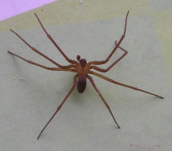 AZ brown spider, not l. reclusa but perhaps l. arizonica or l. deserta? - Loxosceles arizonica - male