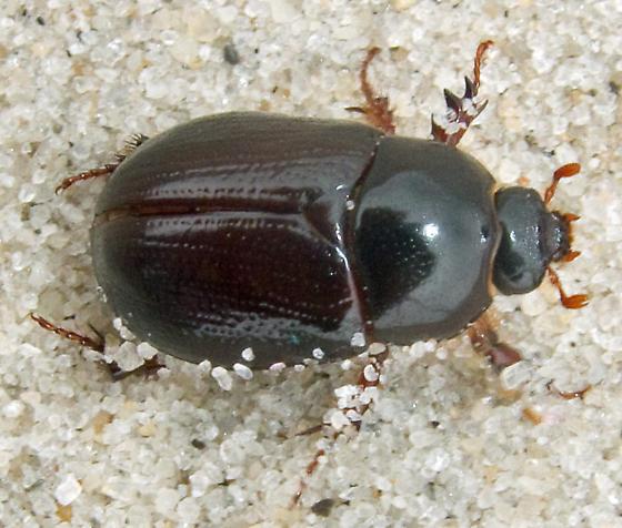 Sugarcane Beetle - Euetheola humilis?