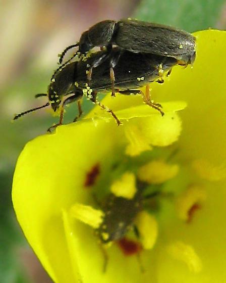 Dasytinae, right? - Trichochrous fieldii - male - female