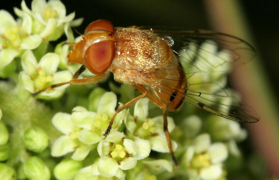 Copestylum sexmaculatum - female