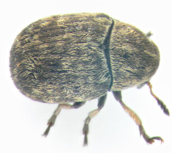 Anthribidae, dorsal - Trigonorhinus limbatus