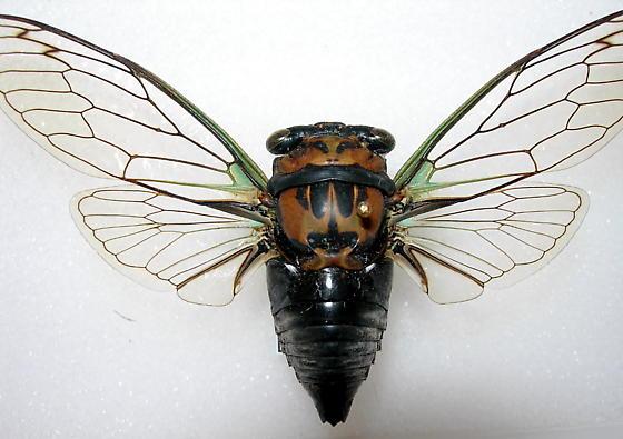 Tibicen lyricen form lyricen - Neotibicen lyricen - male