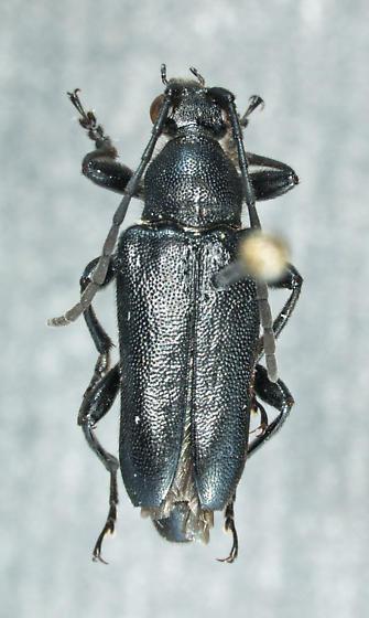 Brachyleptura pernigra (Linell, 1896) - Brachyleptura pernigra - male