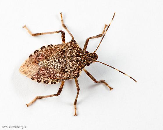 Brown marmorated stink bug on white - Halyomorpha halys
