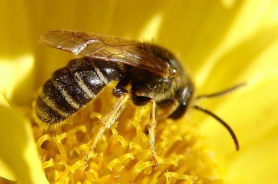 Sweat bee - Halictidae - Halictus ligatus - male