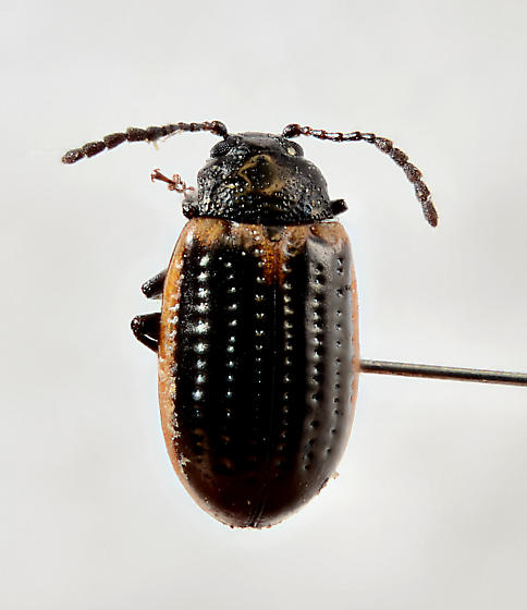 Leaf Beetle... - Microtheca ochroloma