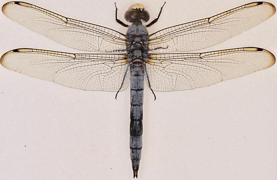 Comanche Skimmer - Libellula comanche - male