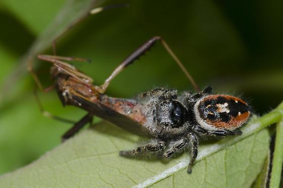 Jumping Spider with Prey - Phidippus insignarius - female