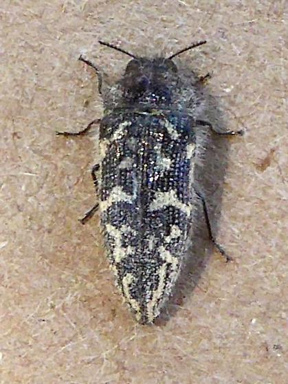 Acmaeodera acuta