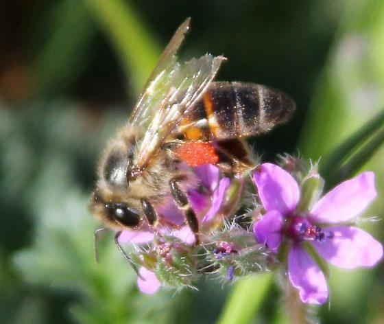honey bee ? dark orange & black - Apis mellifera