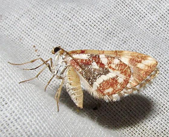 unkn moth - Stamnodes formosata